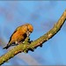 Common Crossbill  M ( Loxia curvirostra)
