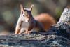 Hoernchen-2018-3878.jpg (Joachim Dobler) Tags: eichhörnchen eichhoernchen squirrel écureuil ardilla scoiattolo esquilo nature natur nagetier esquito wildlife animal cute naturephotography squirrellove wildlifephotography bestsquirrel nutsaboutsquirrels cuteanimals