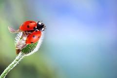 0D15_6046 (JamesHou168) Tags: insect crawlies ladybird grass insects spots creepy colorful red critter green bug lady critters genus flying colourful clytra ladybug可愛瓢蟲停留在花植物,台灣昆蟲,爬行動物,瓢蟲,草,昆蟲,斑點,令人毛骨悚然,多彩,紅色,生物,綠色,蟲,小動物,屬,飛行,多彩,clytra,瓢蟲