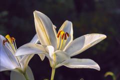 Lilies / Летящее лето (VikTori_kvl23) Tags: лето лилия природа растения флора цветы flower bloom flowers nature beauty closeup macro bright russia plants lilies lily beautiful