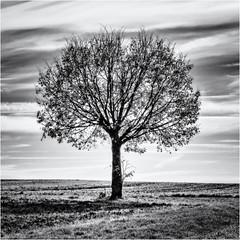 Alone but on the sunny Side... (Ody on the mount) Tags: anlässe bäume em5 fototour gegenlicht himmel licht mzuiko6028 omd olympus pflanzen schwäbischealb solitär wanderung wolken bw clouds light monochrome sw sky trees quadratisch square rahmen frame