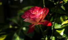 Rosa (Fotgrafo-robby25) Tags: