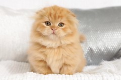 Cute kittens pictures (dollfacepersiankittens.com) Tags: rug huggers persian kittens for sale doll face orange cats kitten cutekittenpictures cutecatpictures munchkin