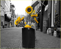 Yellow is In (Hindrik S) Tags: sunflowers flower sinneblommen zonnebloemen selectivecolor selectievekleur liwwadden ljouwert geel leeuwarden sintjacobsstraat street strase straat strjitte blom bloem blume sonyphotographing sony sonyalpha amount minoltaamount sony1650mmf28dtssm sal1650 α77 slta77ii sonyilca77m2 2019
