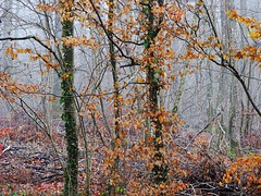 La beauté forestière (v o y a g e u r) Tags: sony fog mist otono automne autumn arboles arbres trees natura nature bosco bois wood foret forest france