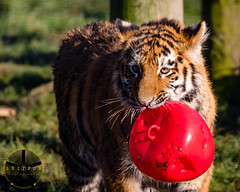 My Ball (griffonphoto) Tags: 2019 amurtiger animal ball cub england outdoor outdoors outside sunny tiger uk unitedkingdom whipsnade wildlife winter zsl zslwhipsnade zoo