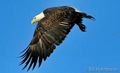 November 24, 2018 - A Bald Eagle takes flight in Adams County. (Bill Hutchinson)