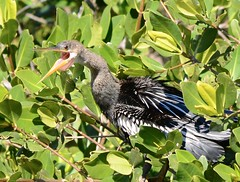 Anhinga (barbmerrill2) Tags: anhingaanhinga bird sanibelisland dingdarlingnwr florida