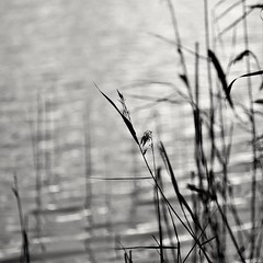 Reeds (Stefano Rugolo) Tags: stefanorugolo pentax k5 pentaxk5 smcpentaxm100mmf28 kmount ricohimaging reeds monochrome depthoffield blackandwhite abstract lake water impression hälsingland sverige sweden manualfocuslens manualfocus manual vintagelens 100manual ripples
