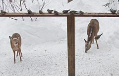 Little deer laughing (Deer behaviour) *See previous shot ((nature_photonutt) Sue) Tags: laughingdeer ouryard ironbridgeontariocanada