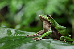 2J4A8087 (ajstone2548) Tags: 12月 樹蛙科 兩棲類 翡翠樹蛙