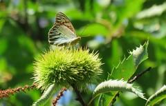 This was real (Elisa1880) Tags: lamego portugal vlinder parelmoervlinder butterfly insect sweet chestnut tamme kastanje kardinaalsmantel argynnis pandora cardinal frittilary