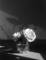 Winter Floral (Tim Roper) Tags: 4x5 75min dilutione film flowers fujinon135mm hc110 hp5 intrepid still life blackandwhite inford analog
