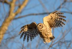 Barred Owl 12_18 2 (krisinct- Thanks for 15 Million views!) Tags: nikon d500 300 f28