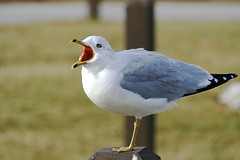 I Don't care what the sign says FEED ME (Eat With Your Eyez) Tags: lake erie seagull cleveland ohio edgewater park winter bird wing hungry mouth open eye avian flight flying feathers beak panasonic fz1000 bokeh