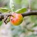 Single Apple on an Apple Tree