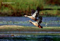 IMG_2091 Spot-billed Duck (Anas poecilorhyncha) (vlupadya) Tags: greatnature animal bird aves fauna indianbirds spotbilled duck anas malyadi karnataka