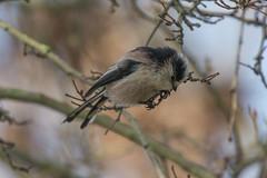 DSC_1134_Edit (Clive Webber) Tags: aegithalidae aegithaloscaudatus belgium bird brielmeersen deinze longtailedtit oostvlaanderen places passeriformes