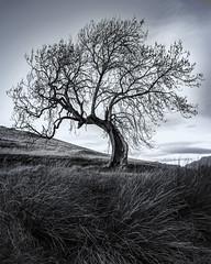 The Frandy Tree, Glen Devon (B&W) (MilesGrayPhotography (AnimalsBeforeHumans)) Tags: 2470 fe2470mmf4zaoss sonyfe2470f4zaoss a7rii sonya7rii britain clackmannanshire europe fe blackandwhite bw iconic ilce7rm2 sonyilce7rm2 landscape landscapephotography farm frandy frandytree outdoors photography photo portrait scotland scenic sunshine scottish scottishlandscapephotography sony sonyflickraward town tree lonetree uk unitedkingdom village winter zeiss glendevon ash ashtree