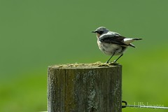 Wheatear. (JJB Images) Tags: amazingnature beautiful canon canoneos6d clear countryside detail eos england eyes focus fuji f8 interesting image jjbimages lumix minolta nikon nature natural pretty panasonic rural tamron usm wiltshire woodlands wildlife xl zoom igersofwiltshire