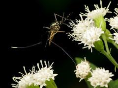 Elephant Mosquito (treegrow) Tags: rockcreekpark washingtondc nature lifeonearth raynoxdcr250 arthropoda insect diptera fly culicidae toxorhynchitesrutilus