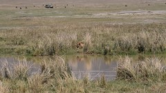 Lions Waiting by the Water Hole, Video (Everyday Glory!!!) Tags: ngorongorocrater ngorongoro africa tanzania wildlife gamedrive safari lakemagadi lion bigcat felidae simba lioness lionpride pride
