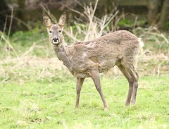 Roe Doe - Shedding her winter coat (glostopcat) Tags: roedoe roedeer deer doe animal mammal wildlife glos spring