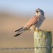 Kestrel - male (Falco tinnunculus)