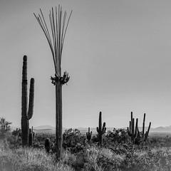 Nature Showing Off (gypsy.pics) Tags: cactus desert landscape nature hiking trails arizona az death bw