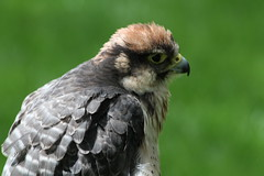 IMG_1483 (Stefan Kusinski) Tags: hemsley duncombe ncbp birdofprey