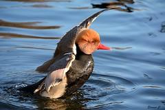 Morning Exercises (Eleanor (No multiple invites please)) Tags: duck redcrestedpochard maleredcrestedpochard stjamesspark london nikond7100 january2019