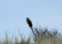 IMG_4638 (monika.carrie) Tags: monikacarrie wildlife scotland forvie shortearedowl seo