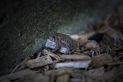 Toad (pmadel12) Tags: toad frog animal amphibian wildlife eye cute closeup beauty outdoors outside minnesota animals summer eyes wild black wood nature photograph wilderness
