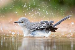 Bird baths are surprisingly splashy affairs. (tspine) Tags: northernmockingbird santaclararanch texas