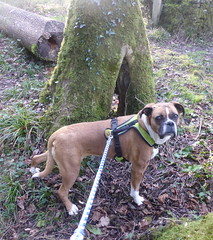 Reba Exploring (andreboeni) Tags: reba boxer dog chien hund perros hunden dogs chiens ruin ruined chapel woods tree trees