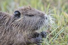 DSC_2496 (P2 New) Tags: 2018 animaux aout bretagne date etangdecareil france illeetvilaine mammifères myocastoridae pays ragondin rodantes