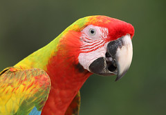 Scarlet Macaw (ashockenberry) Tags: macaw red beautiful beauty vacation perch travel tourism nature naturephotography natural native green forest tree jungle rainforest costa rica bird wildlife wildlifephotography wild wilderness beak central america habitat light
