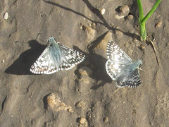 Pyrgus communis (common checkered skipper) (tigerbeatlefreak) Tags: pyrgus communis common checkered skipper insect butterfly lepidoptera hesperiidae nebraska