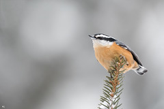 ''Une bonne rousse!''Sitelle à poitrine rousse-Red-breasted nuthatch (pascaleforest) Tags: oiseau bird animal passion nikon nature wild wildlife faune québec canada winter hiver