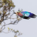 Lilac breasted Roller in Flight by JUNE SPARHAM