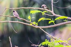 APALIS DI SHARPE (Ezio Donati is ) Tags: uccelli birds animali animals alberi trees natura narure westafrica costadavorio abidjan arealagunes