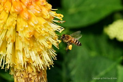 Bee at work (DirkVandeVelde back , and catching up) Tags: europa europ europe belgie belgium belgica belgique buiten biologie bloem antwerpen anvers antwerp animalia animal mechelen malines malinas macro insekt insects insect insekten bee bij sony