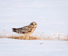 _V6A2518 (Tom Wilberding) Tags: animals birds shortearedowl utqiaġvik barrow alaska