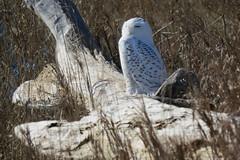Snowy Owl Enjoys Sunrise on a Beach (Greg Froude) Tags: snowyowl bubo buboscandiacus earlymorning owl ontariobird bird beach driftwood canadian canadianbird