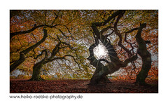 impression of autumn (H. Roebke) Tags: 2018 badnenndorf baum canon1635mmf28lisiii canon5dmkiv color de farbe forest germany herbst landscape landschaft lightroom natur nature niedersachsen süntelbuche wald autumn contrast fall laub leaves rural tree greatphotographers