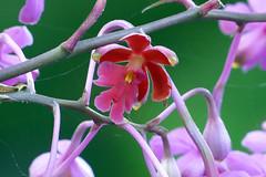 Epidendrum schweinfurtianum species orchid 11-18 (nolehace) Tags: epidendrum schweinfurtianum species orchid 1118 fall nolehace sanfranciso fz1000 flower bloom plant