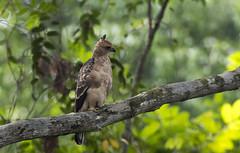 Wallace Hawk Eagle (koifarmer) Tags: wallaceshawkeagle juvenile wallacesfalkenadler bootedeagle eagle jungle free nature wild nisaetusnanus sabah borneo malaysia bird predator prey