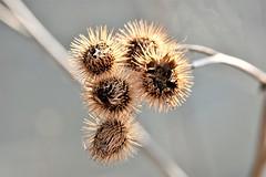 Spikey. (pstone646) Tags: seedheads plant nature spikey bokeh closup flora