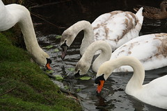 Healthy Brunch (janpaulkelly) Tags: swans birds juvenile pondlife nature wildlife