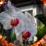 Sonnenberg Gardens & Mansion Historic Park ~ White Orchids ~ Canandaigua NY thumbnail